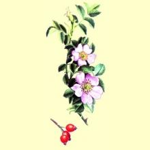 El Aceite de Rosa Mosqueta