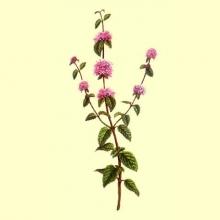 Poleo Menta Planta Cortada 100 gr. (Micromeria fruticosa)