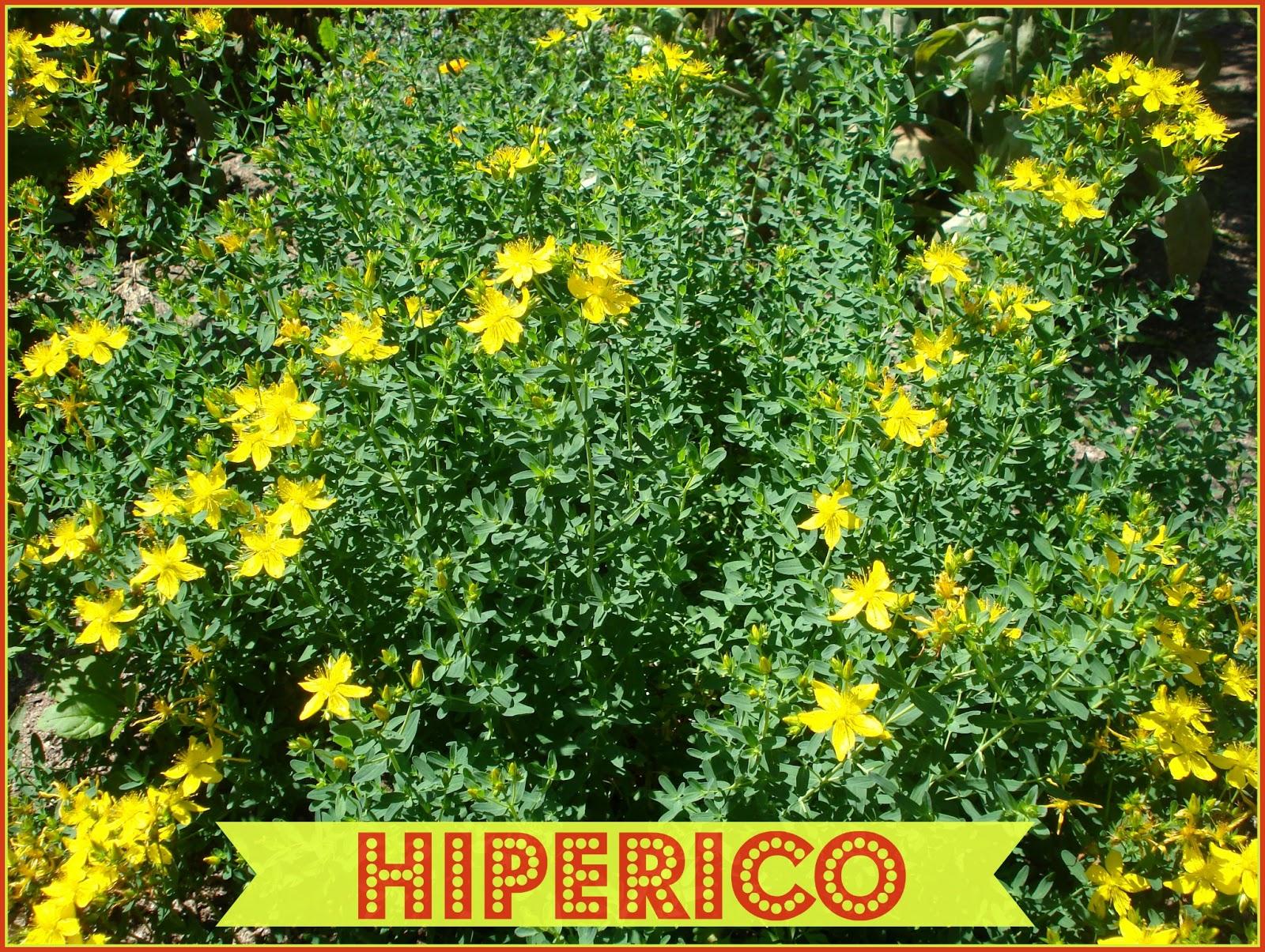 Hierbas medicinales para dejar de fumar. Hip%C3%A9rico-hypericum-perforatum