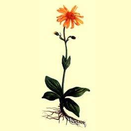 Arnica Montana planta cortada 50 gr.