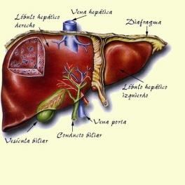 Fortalecer el Hígado - Artículo informativo