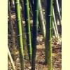 El Bamboo o Bambú
