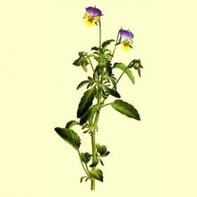 Viola Triccolor Planta Cortada (Viola tricolor L.)