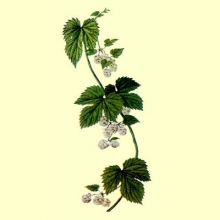 Lupulo Flor Cortada (Humulus lupulus L.)