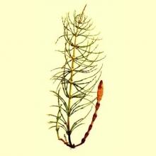 Cola de Caballo planta cortada (Equisetum arvense)