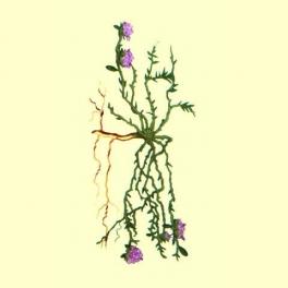 Sanguinaria Flor (Paronychia kapela)