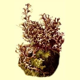 Liquen de Islandia (Cetraria islandica) 100 gr.