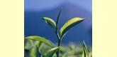 Té Verde Sencha Premium Desteinado Ecológico - 100 gramos