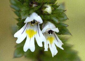 Euphrasia Officinalis