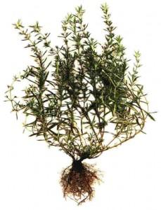 Ajedrea (Satureja montana L.)