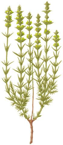 Rabo de Gato (Sideritis angustifolia)