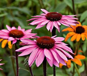 echinacea-plantas-medicinales