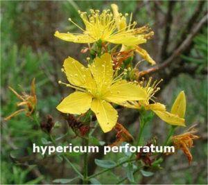 Hypericumperforatum