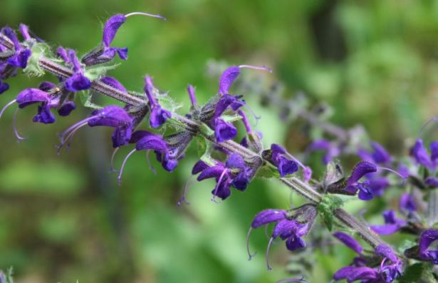 La-salvia-y-sus-beneficios