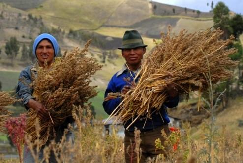 quinoa-in-bolivia
