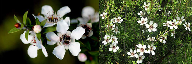 flor-Manuka-Leptospermum-scoparium-Manuka