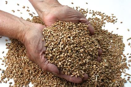 manos con trigo