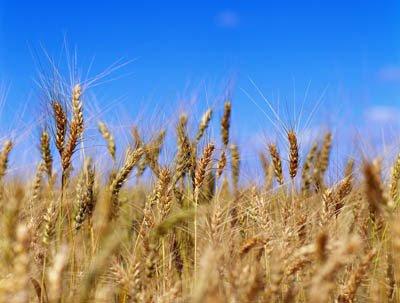 Barley in a Field ca. 2001 Quebec, Canada