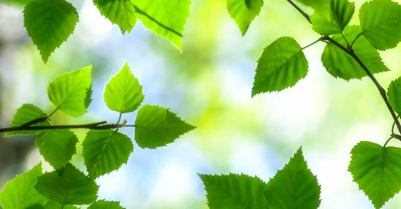 abedul-ramas-arbol-propiedades-beneficios