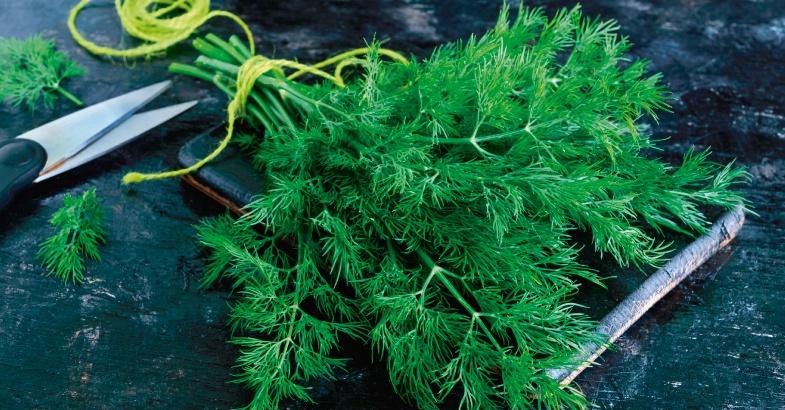 eneldo planta para que sirve y que propiedades tiene como planta