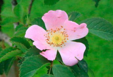 rosa-mosqueta-propiedades-beneficios